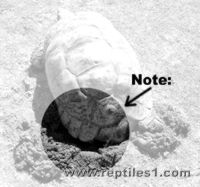 Leopard Tortoise Reaching into Nest Hole