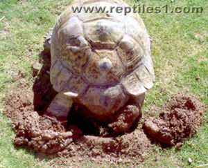 Leopard Tortoise Claw Position When Digging